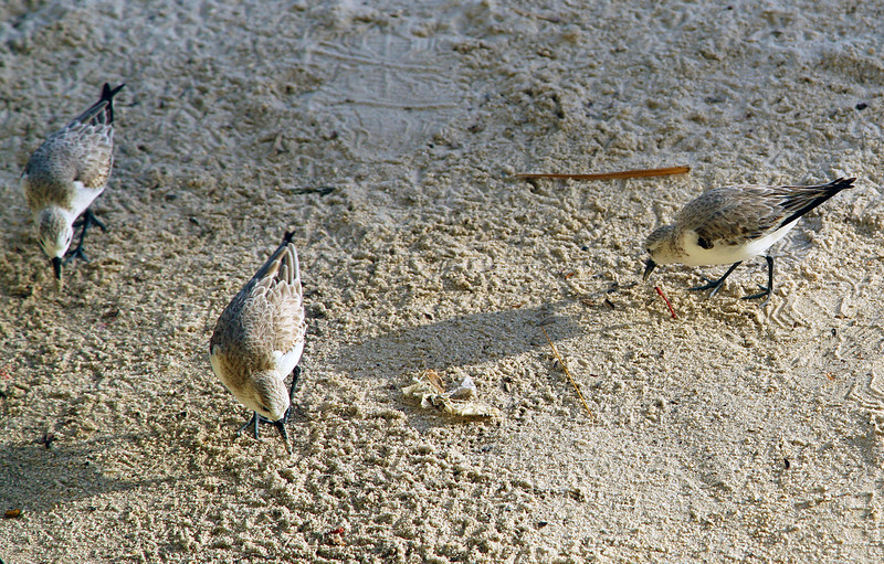 Sandpipers at seaside restaurant