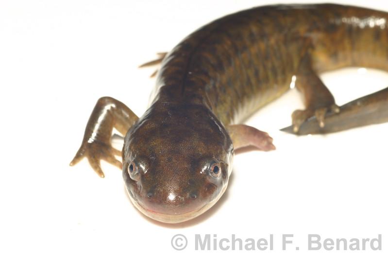 Metamorphosing Tiger Salamander