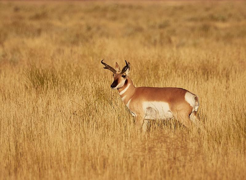 Male longhorn antelope