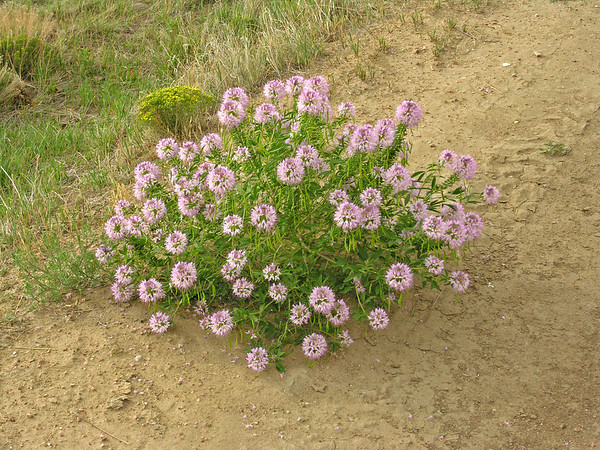Unknown Pink Flower - Pawnee National Grasslands - Greely CO-02