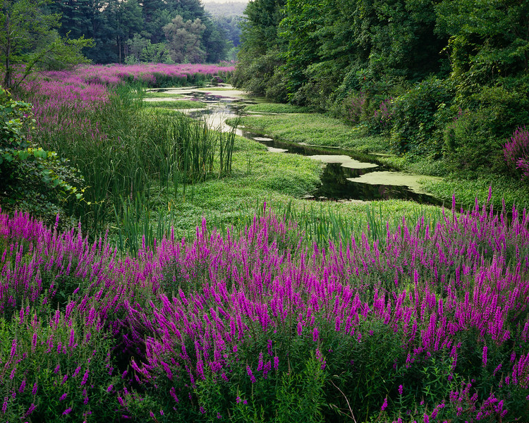 Meandering Stream & Loosestrife I