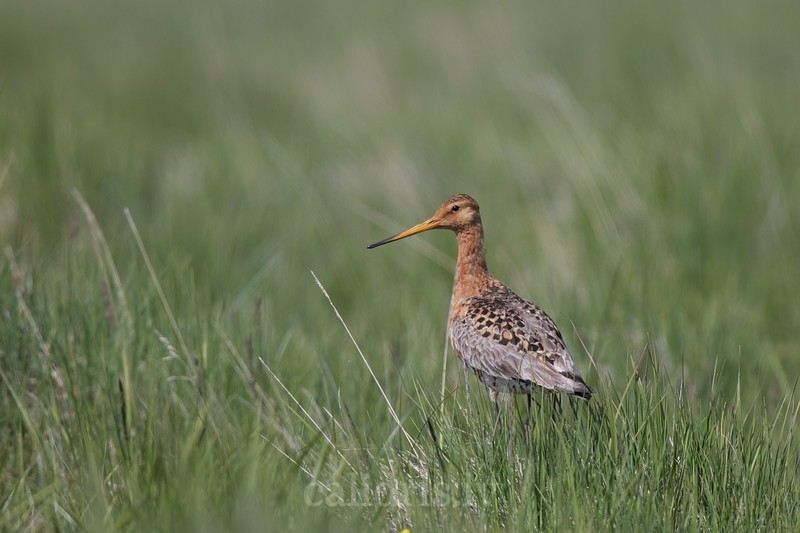 Black-tailed godwit in grass