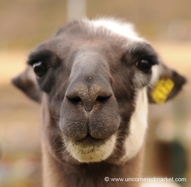 Up Close and Personal with a Llama - Huancavelica, Peru