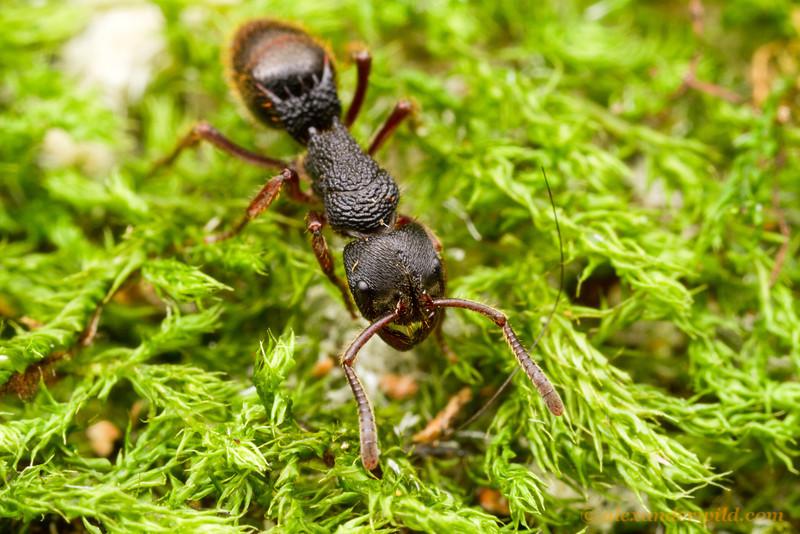 Phrynoponera gabonensis is the most widespread and common species in the genus.  Kibale forest, Uganda