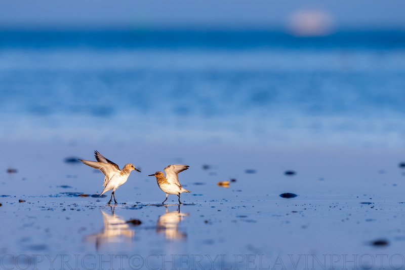 Ruddy Turnstones, Spring Outer Banks, NC