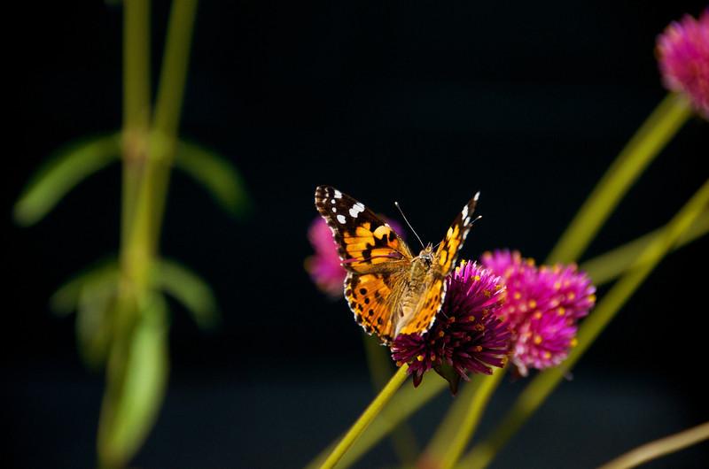Mohonk Butterfly