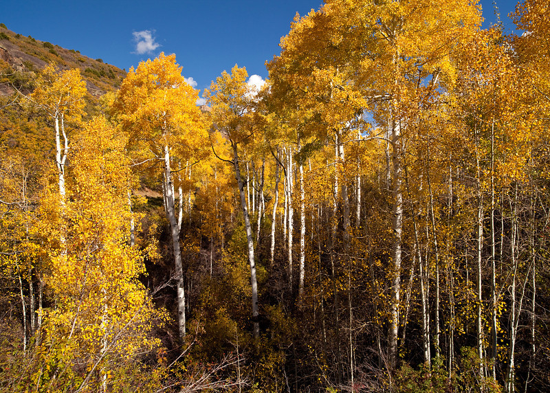 Aspens in the La Sal Mountains Above Moab, UT