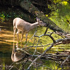 Deer in a creek