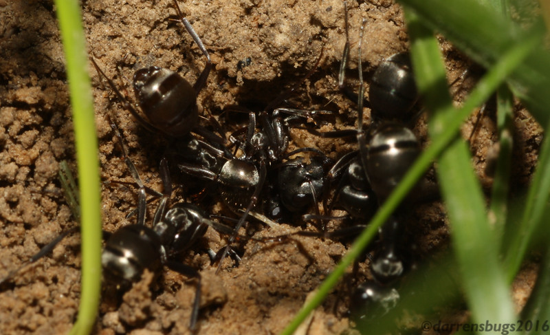 A colony of ants (Hymenoptera: family Formicidae) scrambles madly to unearth their buried comrades after an unfortunate cave-in caused by dog. (Iowa)