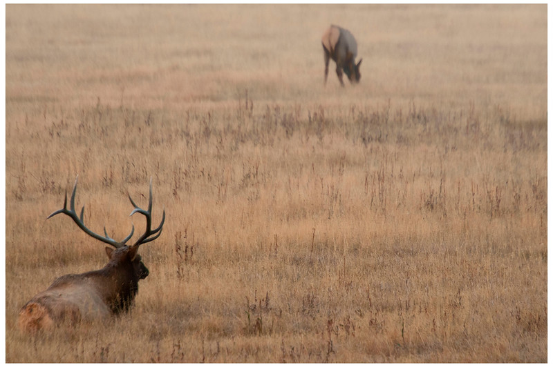 bull elk and doe fog border.jpg