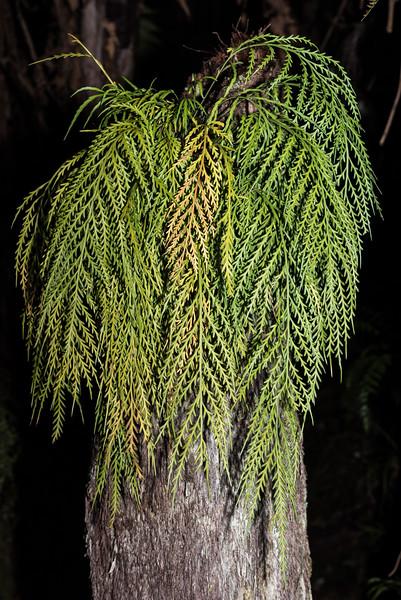Hanging spleenwort - Asplenium flaccidum