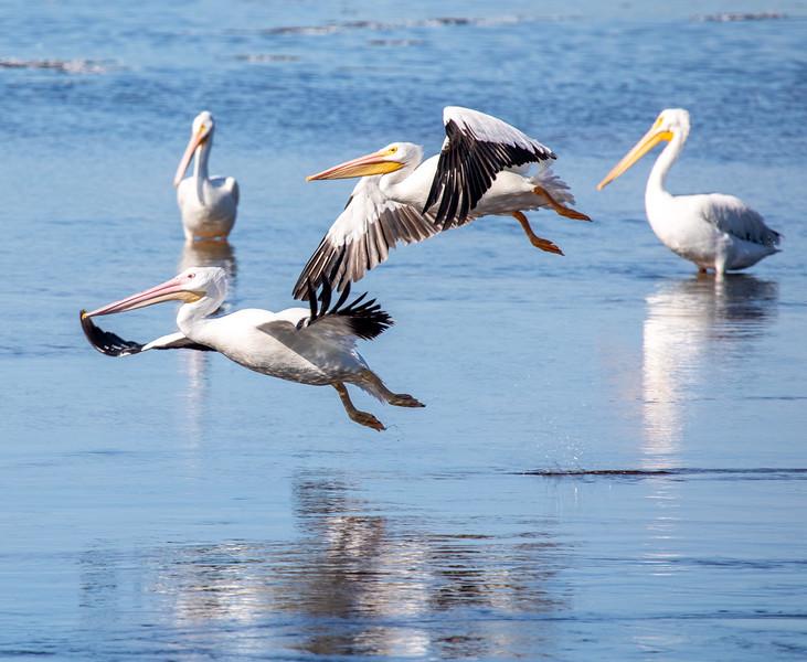 Pelicans-Flight.jpg