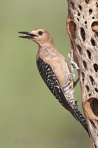 Gila Woodpecker