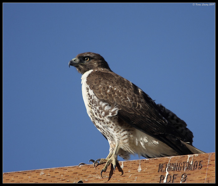 Immature Red-Tailed Hawk, Salton Sea, Imperial County, California, November 2009
