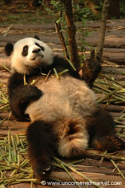 Reclining Panda - Chengdu, China