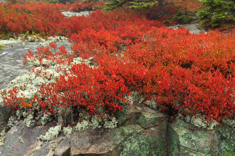 IMG_9925 Blueberry bushes and Lichen, Cadillac Mt, Acadia National Park,Me..jpg