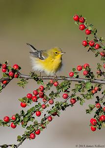 Pine Warbler, Dendroica pinus