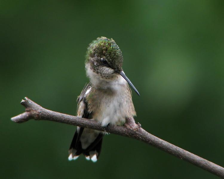 hummingbird_0660.jpg