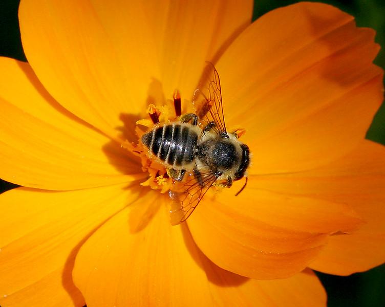 2340 Bee on Cosmo.jpg