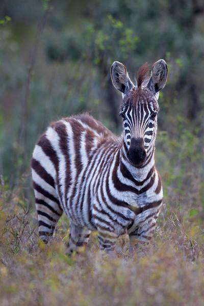 Zebra _MG_7598.jpg