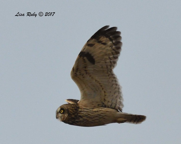 Short-eared Owl  - 12/28/2017 - Fiesta Island, southeast scrub
