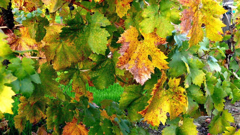 Autumn Grapevines