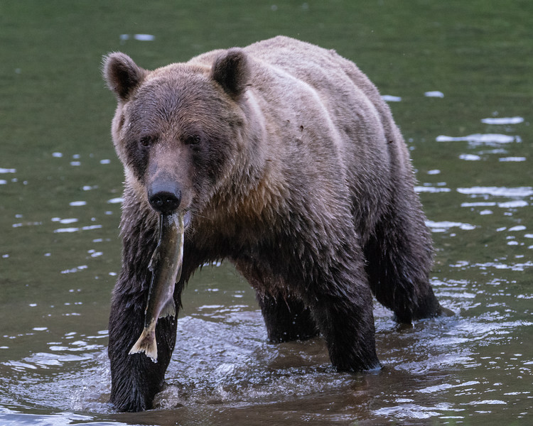 BC-Grizzly-Bears-00873.jpg