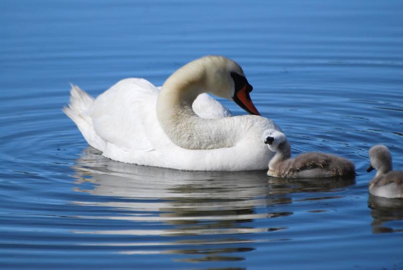 Swan & Chicks (3).JPG