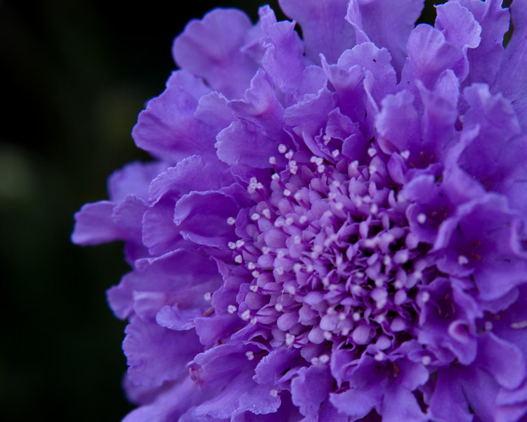 Purple Pincushion 365-88 8x10 300.jpg