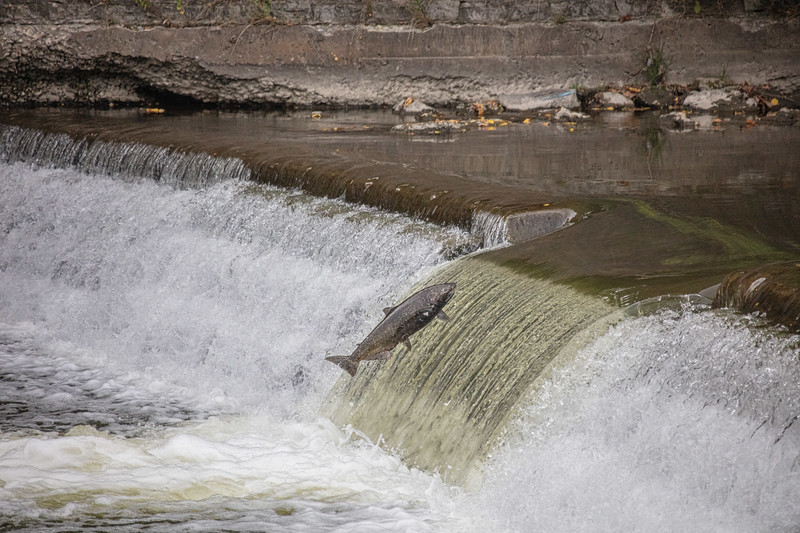 salmon upstream (24 of 48).jpg