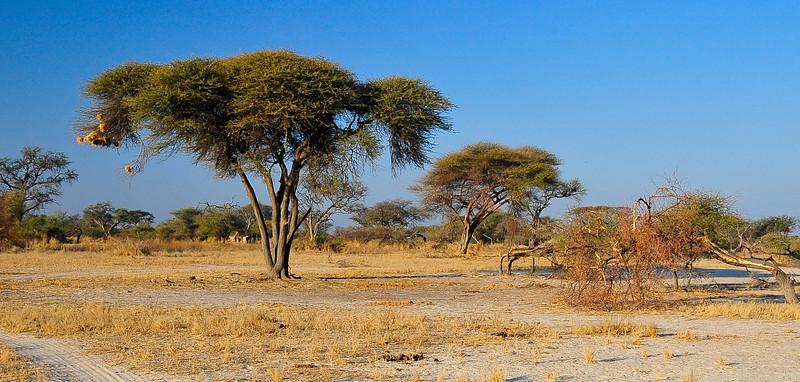 EPV0501 Umbrella Acasia Tree with Nests.jpg