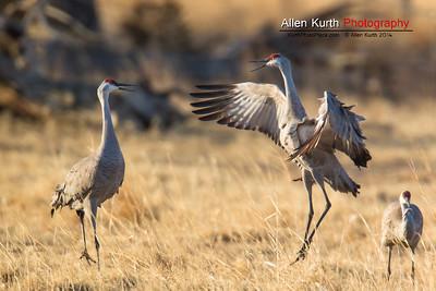 Sandhill Cranes - March 21