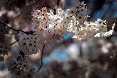 Cherry Blossoms - Meadowlark Gardens - April 2014