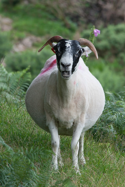 Astonished and Pregnant Black Faced Sheep