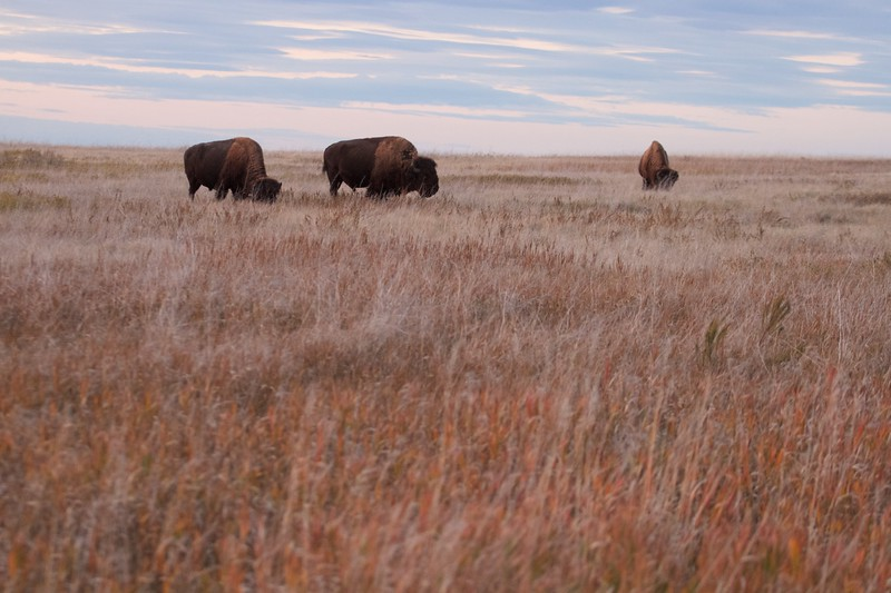 Bison Teddy Roosevelt National Park ND IMG_6515.jpg