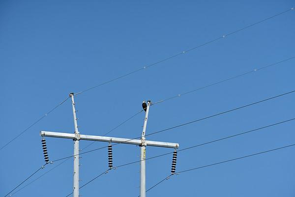American Bald Eagle in Jekyll Creek 04-30-19