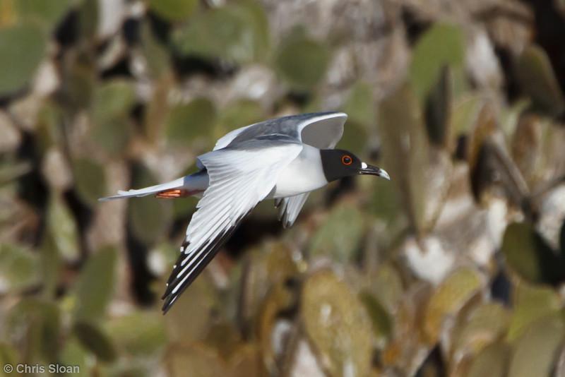Swallow-tailed Gull adult at Darwin Bay, Genovesa, Galapagos, Ecuador (11-25-2011) - 428.jpg