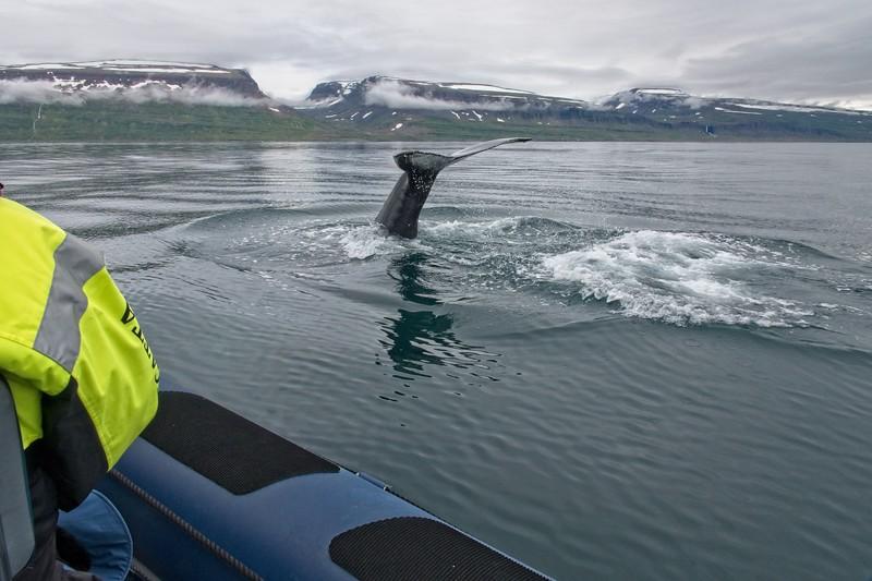 whale isafjordur 3 copy4.jpg