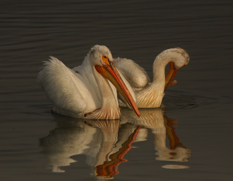 WB~Pelicansgreatmorningtworeflections1280.jpg