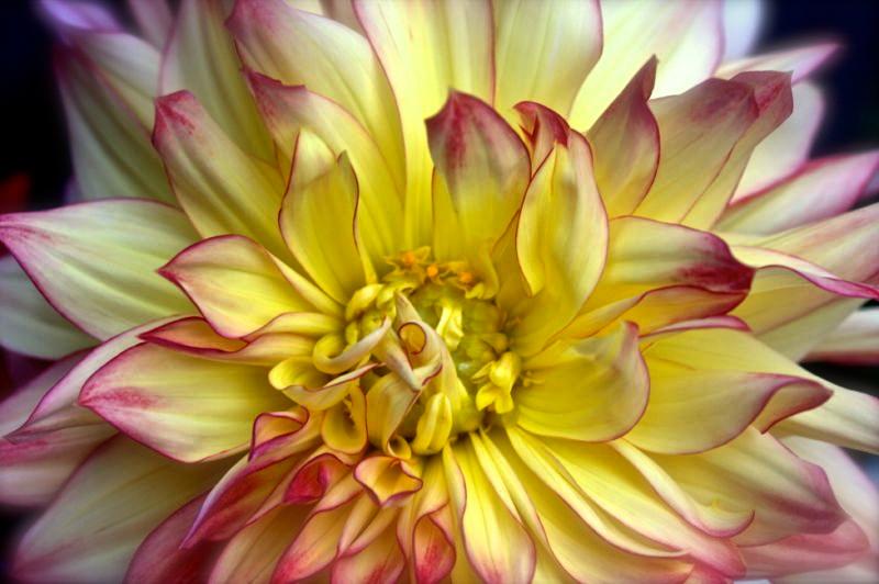 Yellow Dahlia with Pink (digital 2010).jpg