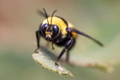 Hymenoptera - Ants, Bees, Wasps, Sawflies