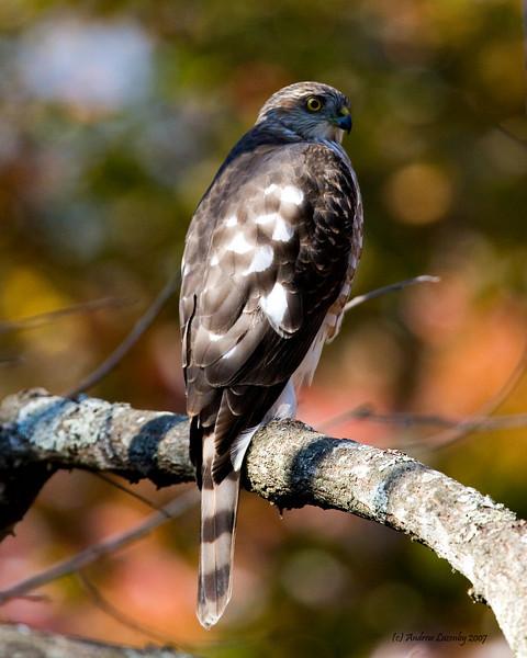 SharpShinned Hawk.jpg