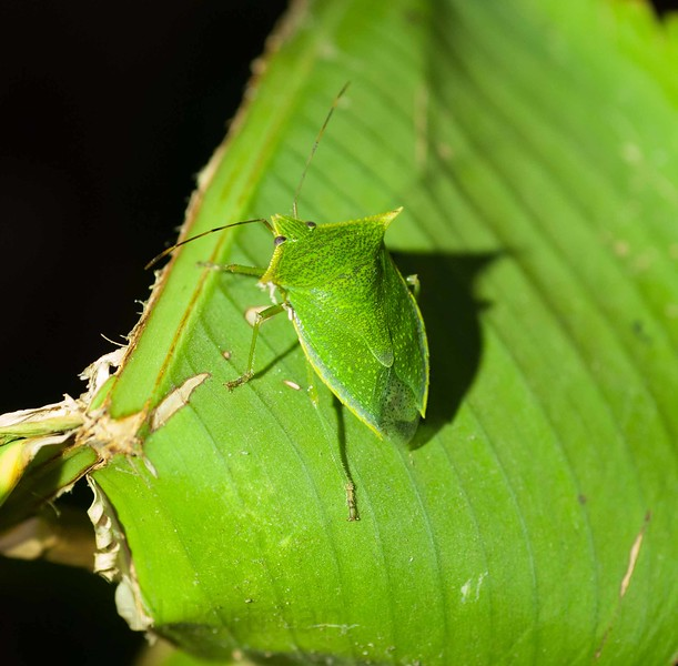 shield bug.jpg