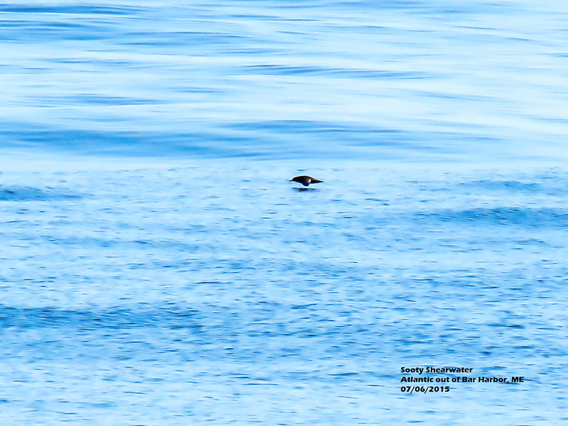 a706 956 IMG_7950 3T Sooty Shearwater vote on Facebook ID Atlantic out of Bar Harbor ME.jpg