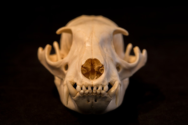 Mammal Skulls Protelidae