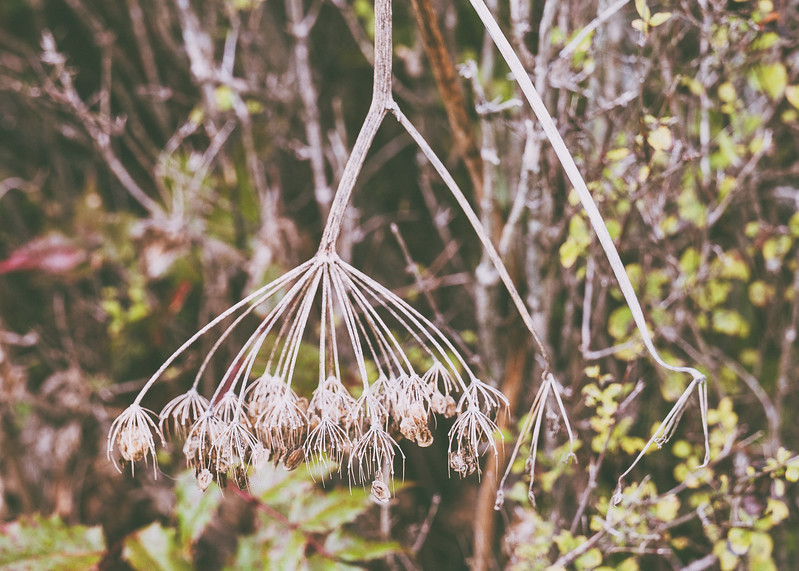 An upside down dead plant with seeds, possibly Queen Anne's Lace.