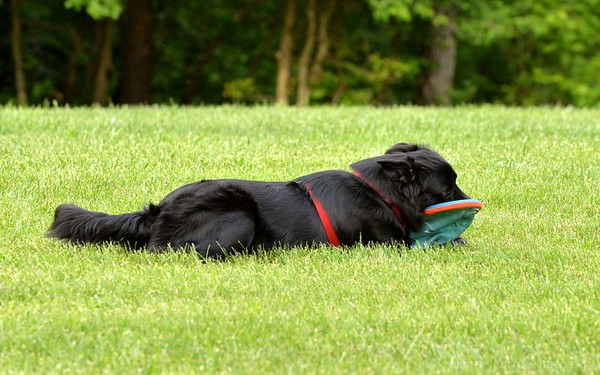 Chesapeake Disc Dogs Club