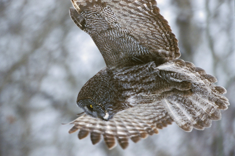 Great Gray Owl In-Flight #2