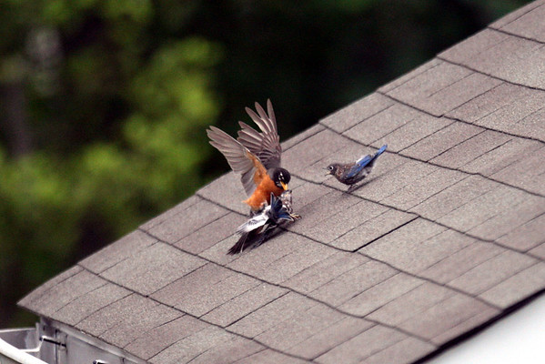 Robin attacks bluebird fledglings