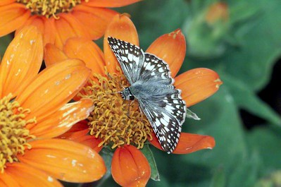 White Checkered Skipper